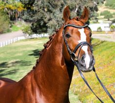 Sir Gregory (b. 2005) is a very modern type 16.2 hh Oldenburg stallion, of striking good-looks, with a beautiful head and neck. He has very correct conformation, his gaits are powerful, with a lot of elasticity, very good use of the hind leg, and he already shows a very good ability to collect. Sir Gregory also has a very good temperament, he is kind, smart and learns quickly, this goes hand and hand with his high rideability.