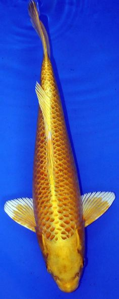 White butterfly koi wanted name will be obake for Yamabuki ogon koi for sale