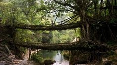 Living tree root bridge, grown from the roots of fig tree in Nongriat Village. - Amos Chapple/Getty Images