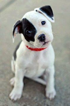 American bulldog puppy. I think!?
