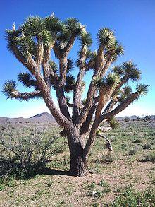 Yucca brevifolia - Wikipedia