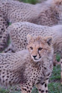 African Big Cats @ Johan Siggesson – Wildlife Photographer Malta