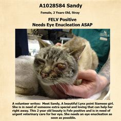 NYC TO BE DESTROYED 02/27/15 Meet SANDY, A beautiful 2 Year old Lynx point Siamese girl. She is in need of someone extra special and loving that can help her right away. This 2 year old beauty is Felv positive and is in need of urgent veterinary care for her eye. She needs an eye enucleation as soon as possible. ID #A1028584. https://www.facebook.com/nycurgentcats/photos/a.961414893876498.1073742606.220724831278845/961415000543154/?type=3&theater