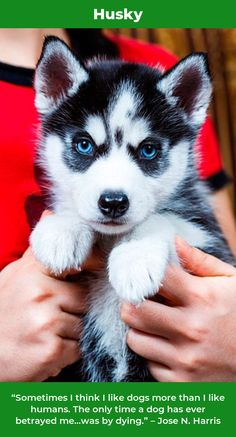 This Is Mikayla She Is A Cinnamon Colored Siberian Husky One Eye