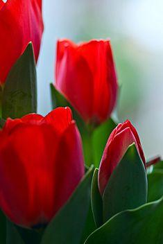 Beautiful #Red Tulips