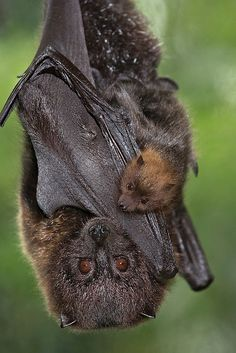 Bat with offspring !!