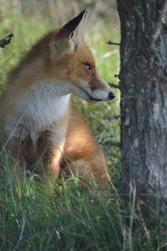 Voor het eerst ook vossen gespot en hoe close