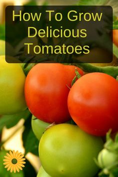 Tomato Gardening For Beginners How to grow delicious tomatoes your entire family will LOVE! - There's nothing as tasty as homegrown tomatoes. Learn how to grow tomatoes: it's not complicated and you'll enjoy lots of delicious meals ; Growing Tomatoes In Containers, Grow Tomatoes, Organic Gardening Tips, Vegetable Gardening, Vegetables Garden, Veggie Gardens, Tomato Garden, Tomato Plants, Aquaponics System