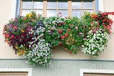 Картинки по запросу pelargonium and petunia in window box