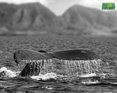 Google Image Result for http://animal.discovery.com/features/free-wallpaper/images/humpback-whales/humpback-fluke-black-white-1280.jpg