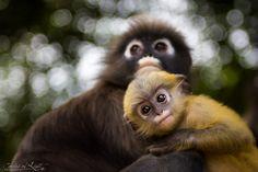 Dusky Leaf Monkey by Daniel Nahabedian