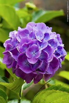 Lavender Hydrangea - Beautiful..I have a purple Hydrangea..