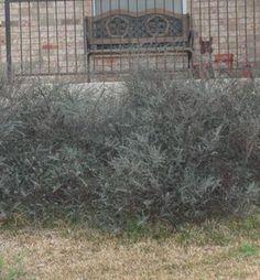 Cotoneaster glaucophyllus (Cotoneaster, Grayleaf)