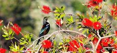 Christmas in New Zealand - Tui in a pohutukawa tree