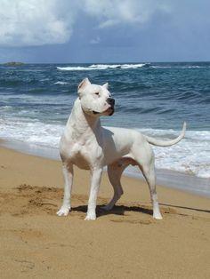 #argentinianmastiff #mastiff #beach #ocean