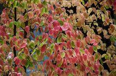 Dogwood Leaves, Yosemite National Park, California 2013 by William Neill