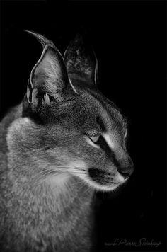 Shadow Animals - Caracal