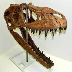 Crâne d'Albertosaurus libratus.