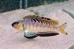 Name: Enantiopus melanogenys Utinta  Located: From Utinta Bay in Lake Tanganyika.