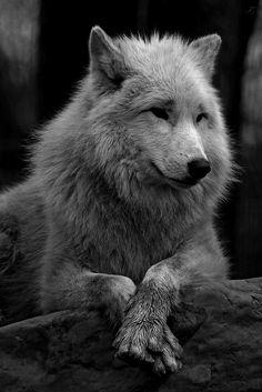 """thenightwhisperer-deactivated20: """" Hudsonbay Wolf © Joke Kok Edit: Tales of the Night Whisperer """""""