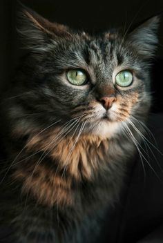 Thoughtful face. Lovely green eyes. A Maine Coon Cat?