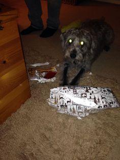 Dylan the Talk Twenty 1 dog opening his 1st Christmas present.