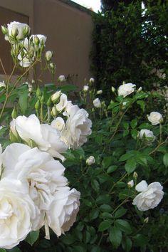 Macizo de Rosa Iceberg - Los rosales floribunda, como este Icerberg, producen racimos de entre 5 y 15 flores, a principios de verano y de una manera mas débil en otoño. Se suelen utilizar en grupos de varios individuos de una misma especie, obteniendo una exposición de color muy intensa en el jardín.