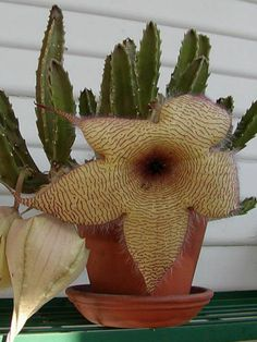 Stapelia gigantea (Starfish Flower, Carrion Plant, Toad Plant,  Zulu Giant) → Plant characteristics and more photos at: http://www.worldofsucculents.com/?p=5158