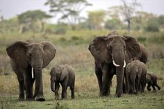 elephant poached on facebook   Poaching could wipe out Tanzanian elephants in 7 years: group