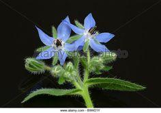 Medicinal plant Borretsch Borage Borago officinalis - Stock Image