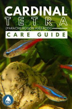 Tropical Freshwater Fish, Tropical Fish, Neon Tetra, Brine Shrimp, Floating Plants, Fish Care, Low Light Plants, Fish Tanks, Spot Treatment