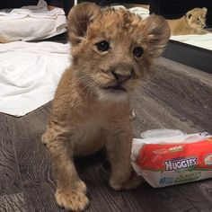 Lewis seems to be trying to give me a message. Now, if he would only go to the bathroom by himself I wouldn't have to stimulate him and both of us would avoid an embarrassing moment :) #babyLewisBJWT #SaveLions #saveOurPlanet #behuman #NotPets #NoSonMascotas #blackjaguarwhitetiger #rescuedLions #teamLH