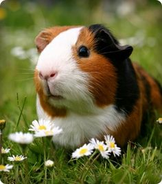 Handsome guinea pig in the daisies