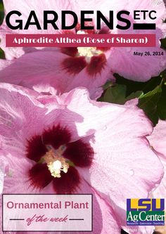 Althea goes by the scientific name of Hibiscus syriacus. When most gardeners view the plants, they are reminded of the hibiscus family, to which this popular, Southern heritage plant belongs. These plants are also referred to as rose of Sharon.