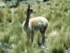gambar Vicuna nama hewan dari huruf V