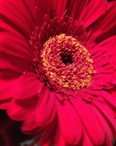 Gerber daisy close up and personal.