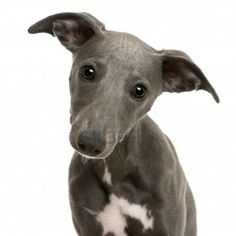 11184710-close-up-of-whippet-puppy-6-months-old-in-front-of-white-background.jpg 400×400 pixels