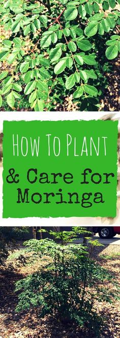 How to grow Moringa. Moringa is said to be a superfood. It is a nutrient-rich plant, and a powerhouse in any diet. Come see how easy it is to grow moringa! | http://homesteadwishing.com/grow-moringa/ | Homestead Wishing, Author Karen Coghlan | how-to-grow-moringa, moringa-gardening, caring-for-moringa |
