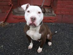 SAFE --- URGENT - Brooklyn Center ZAHIR - A0989180 FEMALE, BROWN / WHITE, PIT BULL MIX, 1 yr STRAY - STRAY WAIT, NO HOLD Reason STRAY Intake condition NONE Intake Date 01/09/2014, From NY 11432, DueOut Date 01/12/2014 MAIN THREAD : https://www.facebook.com/photo.php?fbid=739882522691296&set=a.617941078218775.1073741869.152876678058553&type=3&theater