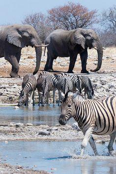 Elephants & Zebras at Etosha National Park, Namibia.✖️More Pins Like This One At FOSTERGINGER @ Pinterest✖️