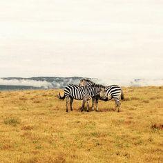 Zebra in Ngorongoro crater on romantic pause