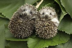 Cute hedgehogs in England - instructions about how to care for wild hedgehogs inside of this pin
