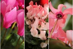 How to care for indoor Cyclamen.  #Cyclamen #Care #Flowers