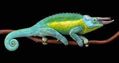 Jackson's Chameleons are easily recognizable as they have three horns on their snout.