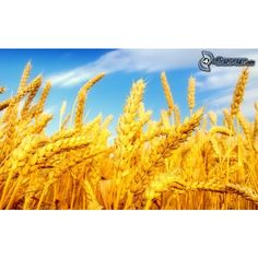 Croatia Tihomir Jakovina Croatia Minister of Agriculture Field Wallpaper, Plant Wallpaper, Health Benefits Of Fiber, Agriculture, Wheat Gluten, Wheat Fields, Celiac Disease, Perfect World, Shades Of Yellow