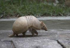 A Man Was Shot In The Face After His Bullet Ricocheted Off An Armadillo - BuzzFeed News