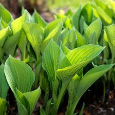 Sprinkle (used) coffee grounds on the ground around the base of your hostas to keep the slugs from eating the leaves