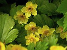 Rönsyansikka, Waldsteinia ternata - Kukkakasvit - LuontoPortti