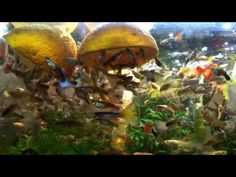 aquarium for all fish blogspot: Update Giving vitamin C to #Fish#FishTank#TropicalFish#Fishing#NomCat#Salmon#Aquarium#Health#Food#Healthy#Seafood#Heart#HealthyLivingthe fish Guppy fish eat...