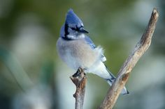 Blue bird by Andre Villeneuve Photography Blue Jay, Bird Art, Drawing S, Blue Bird, Scary, Art Photography, Birds, Portrait, Animals